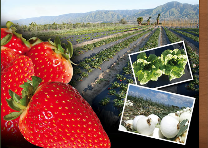Jacinto Farms | February - Strawberries, Hot House Tomatoes, Onions, Lettuce, Navel Oranges