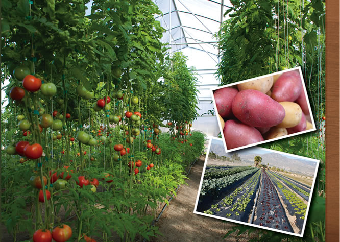 Jacinto Farms | January - Hot House Tomatoes, Lettuce, Spinach, Potatoes