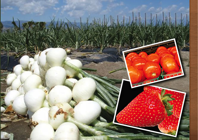 Jacinto Farms | March - Strawberries, Hot House Tomatoes, Onions, Broccoli, Cauliflower