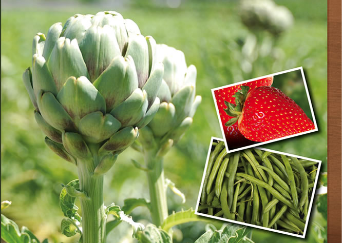 Jacinto Farms | May - Artichokes, Strawberries, Onions, Green Beans, Squash