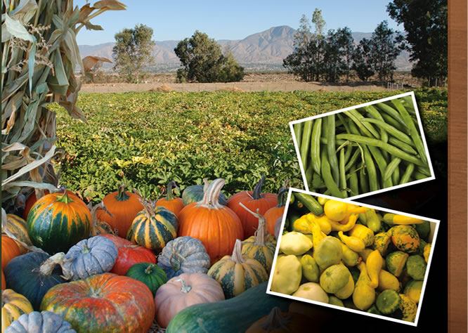 Jacinto Farms | October - Pumpkins, Green Beans, Winter Squash